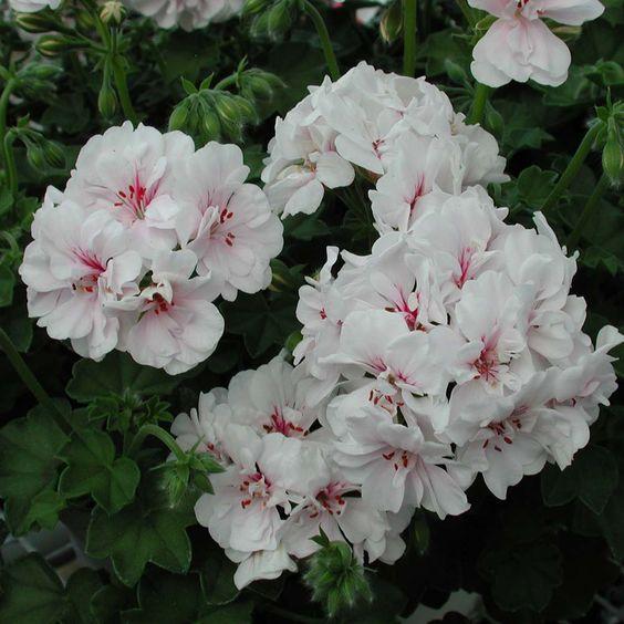 Martha Washington Geraniums Care: Geraniums, Ivy And Hanging Baskets On Pinterest