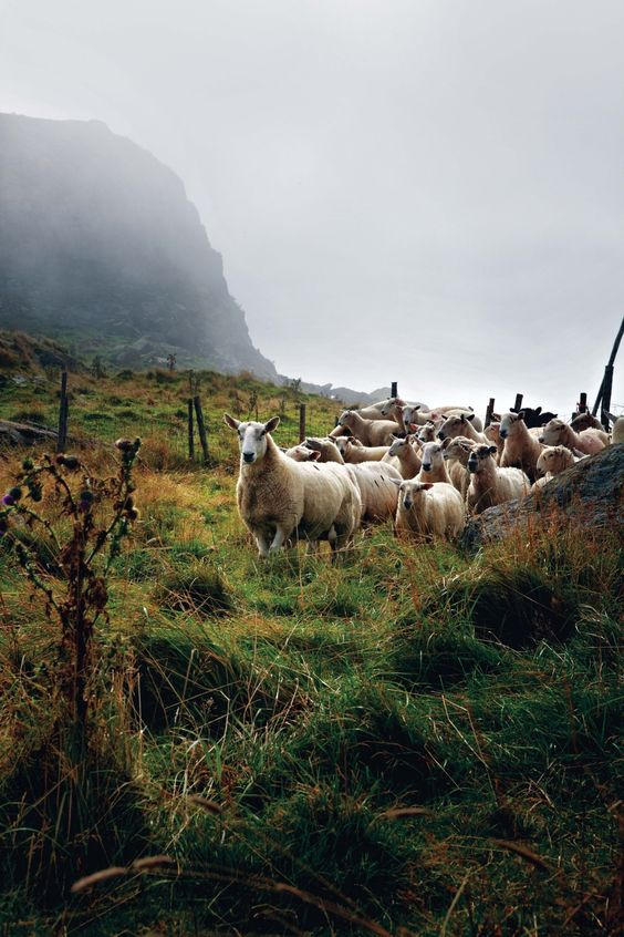 K D Pratt Newfoundland sheep farming, ...