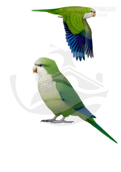 COTORRA GRIS O ARGENTINA. Ave grande, de 28-31 cm de longitud. Su colorido es bastante llamativo, con una tonalidad verde intensa  homogénea en todo el cuerpo, contrastada por las primarias que poseen un color azul muy vivo, y por el cuello, bigoteras, vientre, flancos y zona anterior del píleo, de color blanco crema.