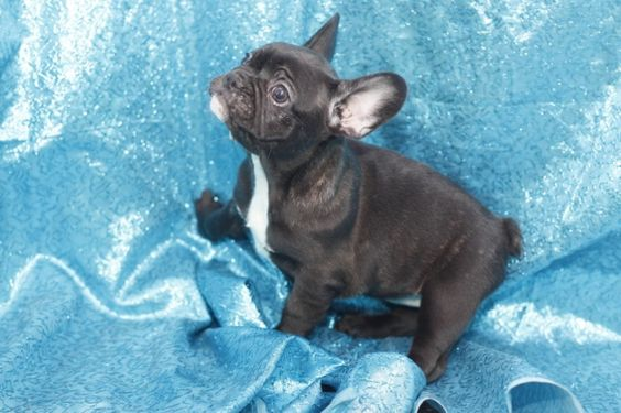 Trina - French Bullog Puppies For Sale