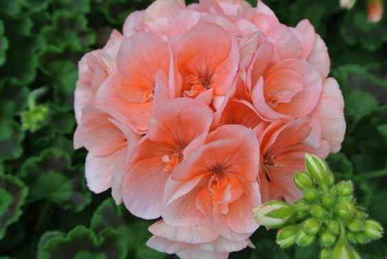 Geranium, sunrise rosetta