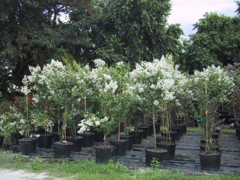 LycheeTreeNursery.com | copyright 2002 all rights reserved lychee tree nursery