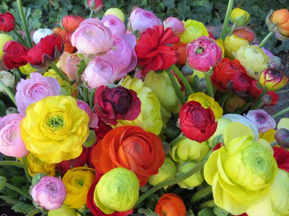 Beautiful pastel colors of ranunculus that are a long lasting flower in a vase. Grown by Bare Mtn Farm