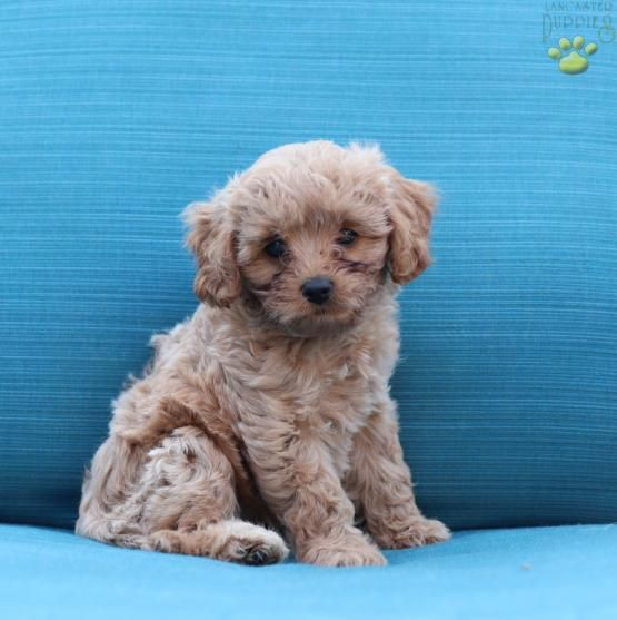 Butterscotch Cavapoo Puppy For Sale In New Holland Pa
