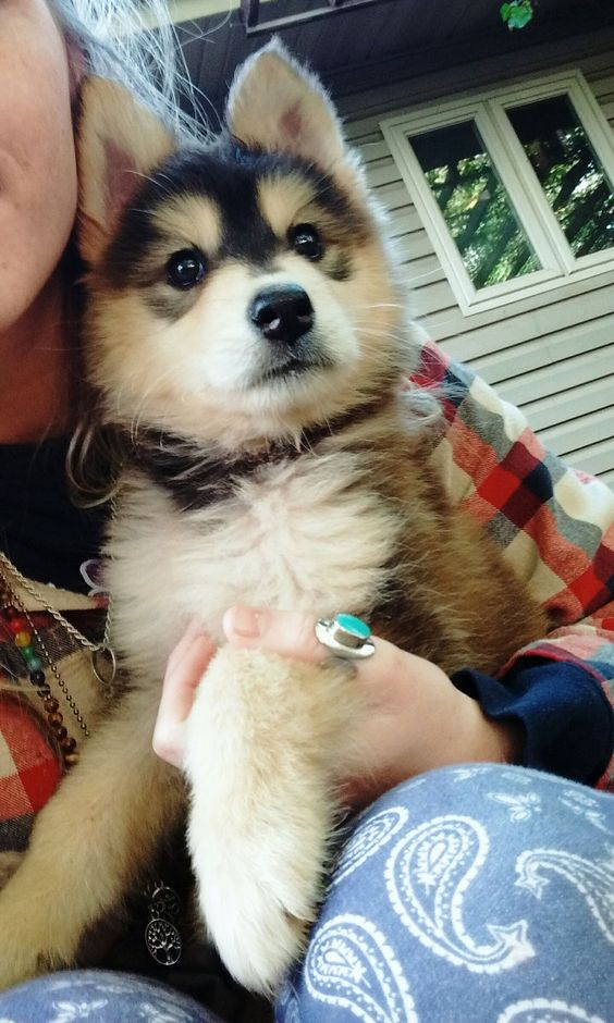 Cuteness Overdosehusky Pup Playing At The Lawn Puppy Dog - Guy quits his job to go on epic adventures with his husky