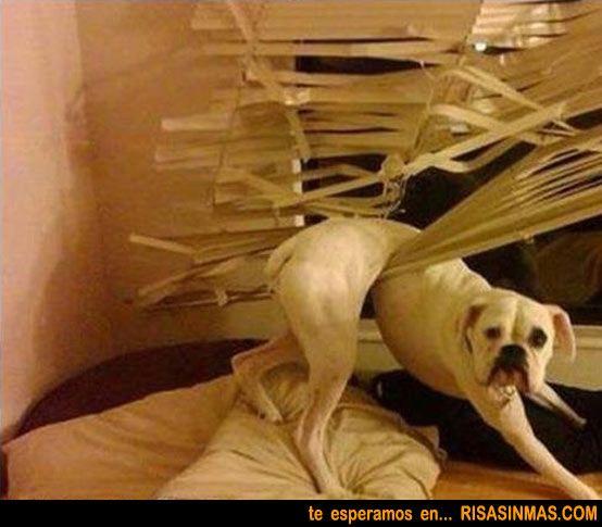 Un perro ayudando en casa a bajar la persiana...