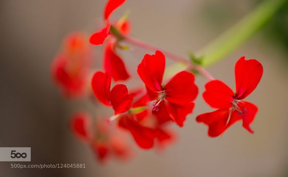Red by fgombert. Please Like http://fb.me/go4photos and Follow @go4fotos Thank You. :-)