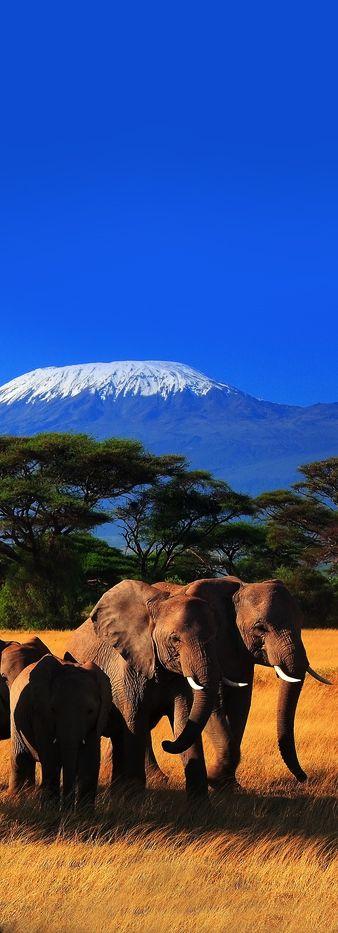 Elephants and Mt Kilimanjaro, Amboseli National Park, Kenya