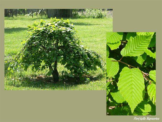 Carpinus betulus 'Pendula' Csüngő gyertyán | FÁK | Pinterest