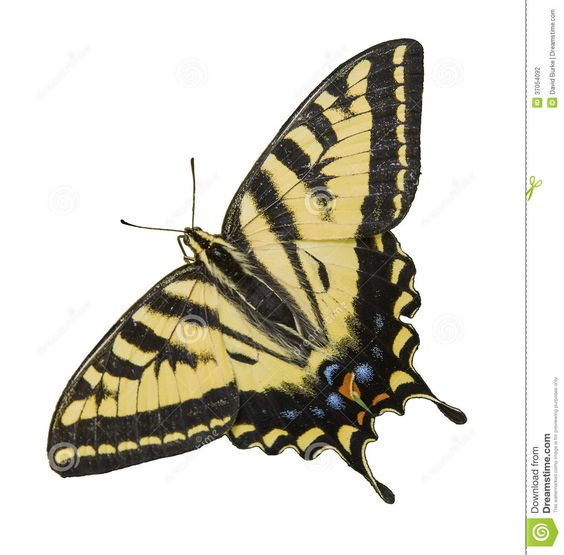 black and gold butterfly pictures - Google Search