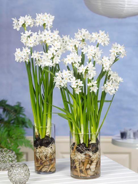 Indoor Narcissus Paperwhites Inbal Daffodil Bulbs Bulb Flowers Paperwhite Flowers