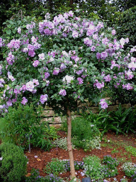 Hibiscus Tree  Hibiscus syriacus Ardens Purple  Hibiscus syriacus