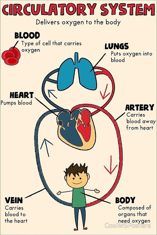 Circulatory system anchor chart/ word wall