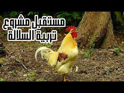 تربية الدجاج البياض مستقبل تربية السلالة في المغرب Youtube