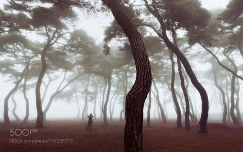 Pine Addict by NathanielMerz  mist fog morning light glow bright soft mood dreamy moody korea early ethereal Pine Addict Nathaniel