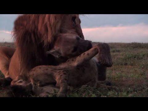 ライオンVSハイエナPart2 見るも無残!頭部に大ダメージを負うハイエナ - YouTube