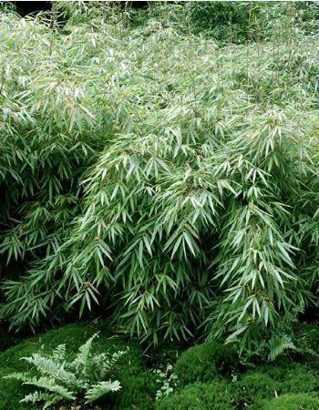 Fargesia Rufa (clumping bamboo)