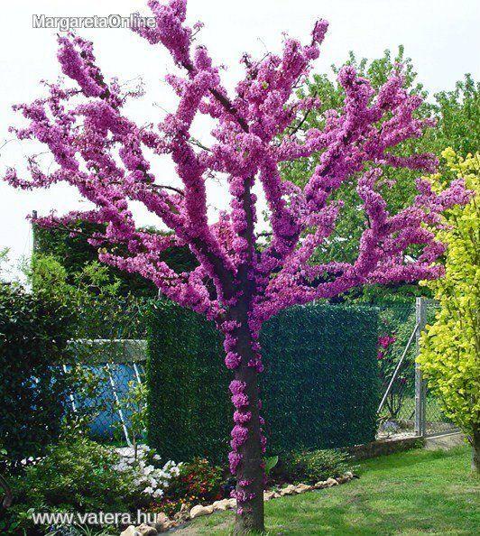 cercis siliquastrum judas tree or mediterranean redbud. Black Bedroom Furniture Sets. Home Design Ideas