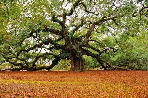 World's Best Climbing Tree: Favorite Place, Angel Oak Tree, Beautiful Place