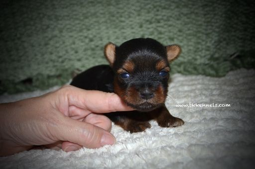 Yorkshire Terrier Puppy For Sale In Grayson La Usa Adn 50751 On
