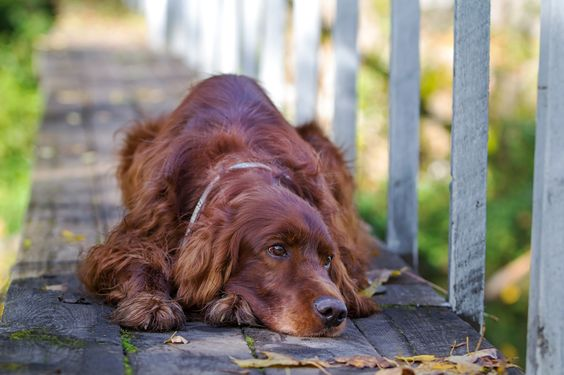 Irish Setter dog by Nika Petrova on 500px