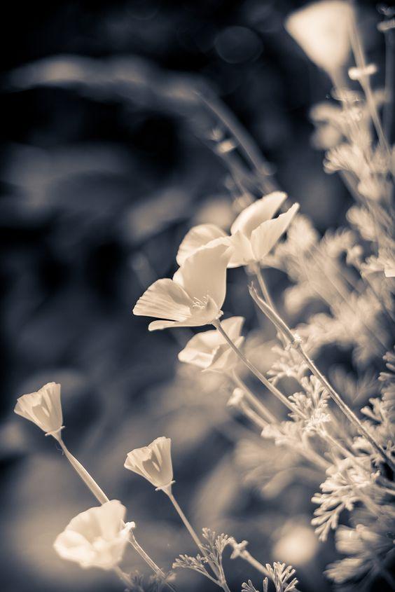 Poppies! | by Stevie Benintende