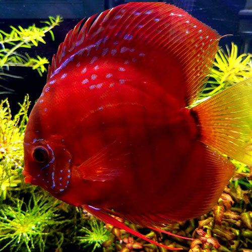 Red Discus Fish For Sale Online Jack Wattley Discus In 2020 Discus Fish For Sale Discus Fish Fish For Sale