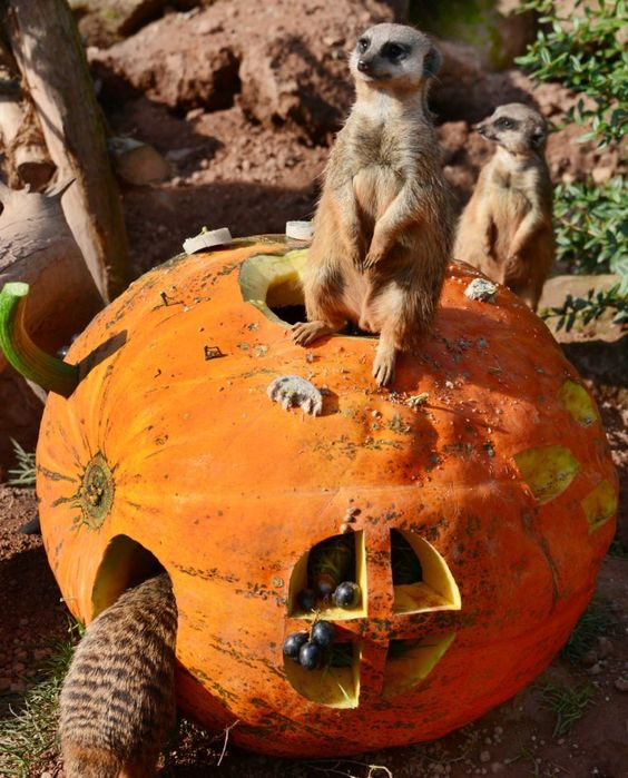 Meerkats inspect a pumpkin filled with fruits and flour worms on September 29…