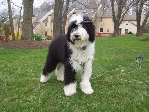 Top Designer Breed Dogs Sheepadoodle