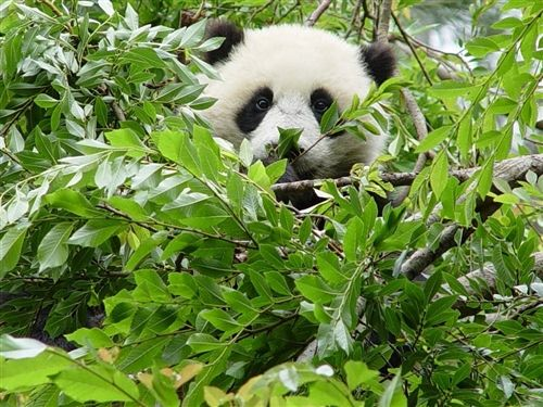 Michael Taylor brings us this adorable photo of a panda at the San Diego Zoo in California. Read more: http://on.msnbc.com/y9Cj5r