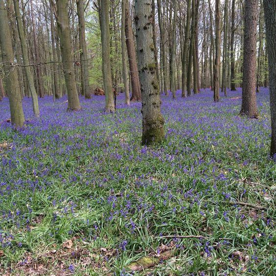 Walking through the bluebell woods. #bluebells #ashridgeestate #ashridge #bluebellwood #love #adore #outforawalk #blue #natureatitsbest