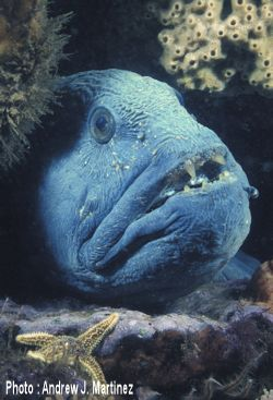 Wolffish (likely to become endangered if nothing is done to reverse the factors leading to its extirpation or extinction)