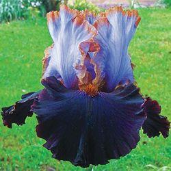 'Edge of the World' German Iris  // Great Gardens & Ideas //