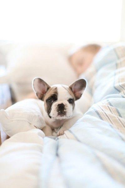 french bulldog // puppies