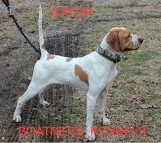 Another fine English Pointer!