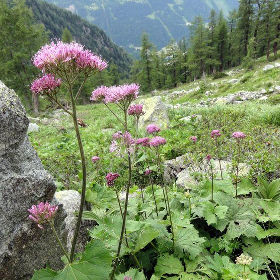 Der Graue Alpendost (Adenostyles alliariae) ist eher etwas für den Berg-Gärtner. Der darf aber in naturhaften Staudenfluren keinesfalls auf ihn verzichten.