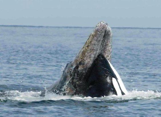 Orca | la orca orcinus orca se llama ballena asesina en ingles en el golfo de ...