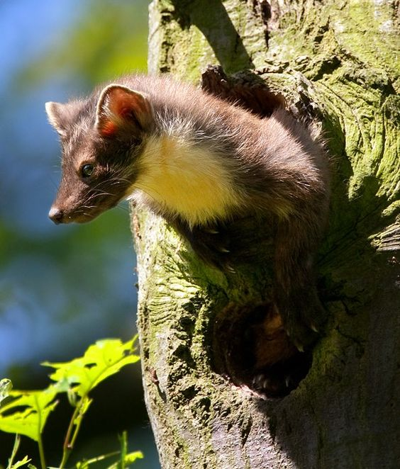 Pine marten observing its surrounds from its den in a tree