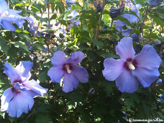 HIbiscus rosa sinensis et Hibiscus Syriacus 'oiseau bleu' sur samaujardin.fr: