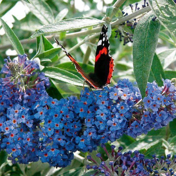 Zwerg-Schmetterlingsflieder Petite Adonis Blue   Blütezeit:Juni–Oktober