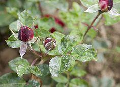 Lutter contre l'oïdium, la rouille, ou la maladie des tâches noires est possible avec les plantes. Le jardin renferme des remèdes naturels tels que l'ortie, ...