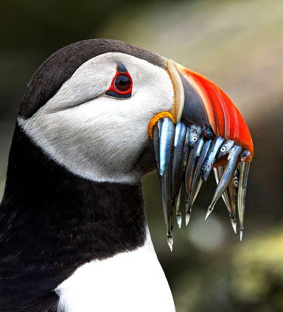 Le Macareu Moine et ses poissons - Notre Planète regorge de Merveilles. Plongez au plus près de la vie sauvage avec cette série de clichés exceptionnels de la nature. Des hommes se sont armés de patience pour figer ces moments de vie animale, nous offrant des photographies étonnantes, parfois même surprenantes.