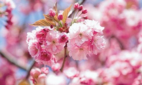 Prunus Kanzan Japanese Flowering Cherry Kanzan Prunus Kwanzan Prunus Sekiyama Flowering Tree Pink Flowers Double Cherry Fl Arbustos Alas Que Guapo