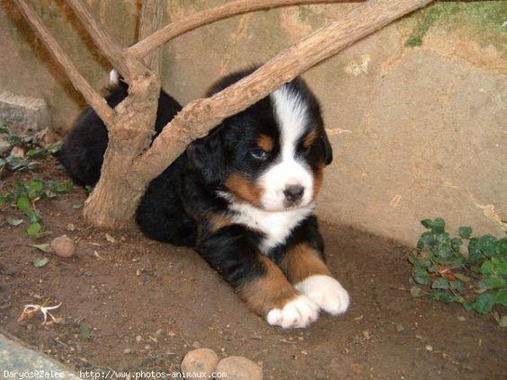 bernese puppy bebe bouvier bernois. Black Bedroom Furniture Sets. Home Design Ideas