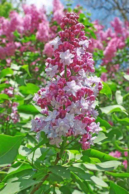 syringa vulgaris michel buchner il giardino che vorrei pinterest syringa vulgaris. Black Bedroom Furniture Sets. Home Design Ideas