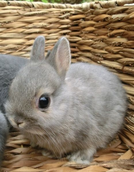 Adorable tiny gray netherland dwarf bunny!                                                                                                                                                      More