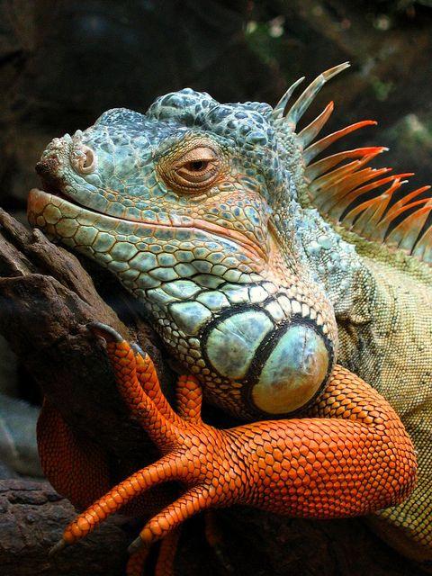Игуасу, Бразилия, 2004 усмихва хамелеонът .: