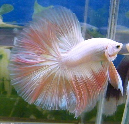 Pinterest the world s catalog of ideas for Butterfly betta fish