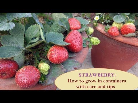 स ट र ब र क गमल म क स उग ए Strawberry How To Grow In Container Pot City Gardening Youtube Growing Strawberries Growing Container Gardening