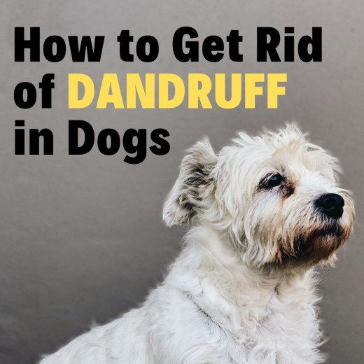 4 Types Of Dandruff In Dogs Easy Ways To Control It At Home Dog Dandruff Dog Dry Skin Dog Dry Skin Remedy